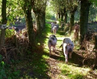 Waardoor Bonte Bentheimer varkens bijna uitgestorven waren (en nu juist weer in aantal toenemen)