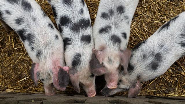 Bonte Bentheimer varkens op de boerderij