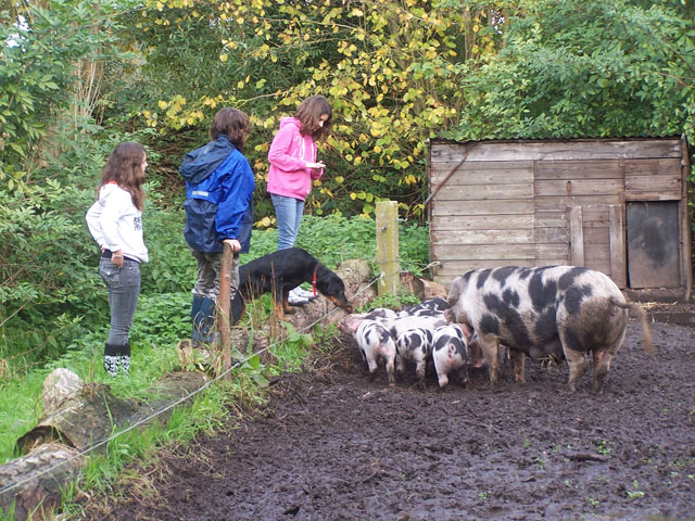 Bonte Bentheimers op de boerderij